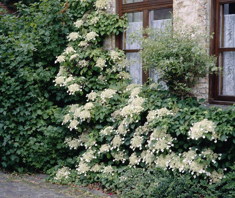 Kletterpflanzen (3)
