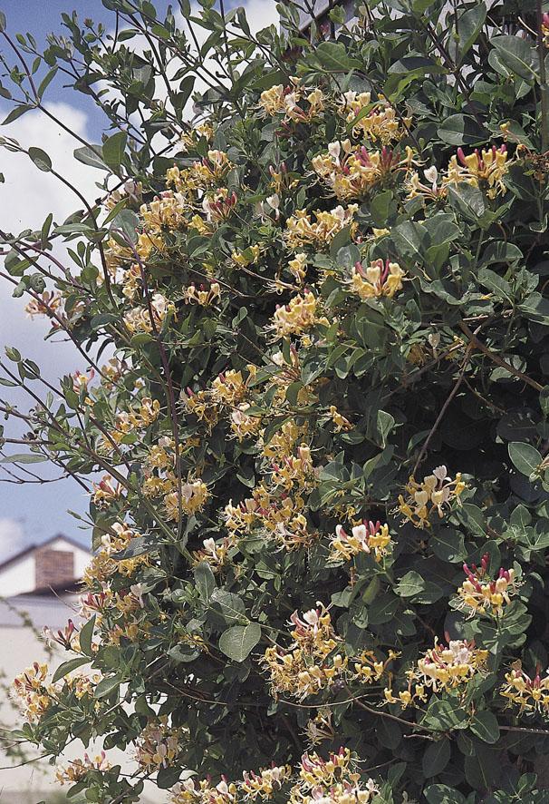 Kletterpflanzen (4)