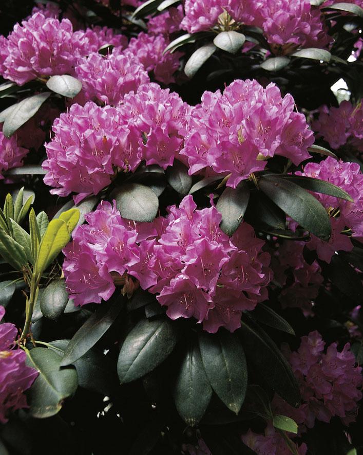 Rhododendren (2)