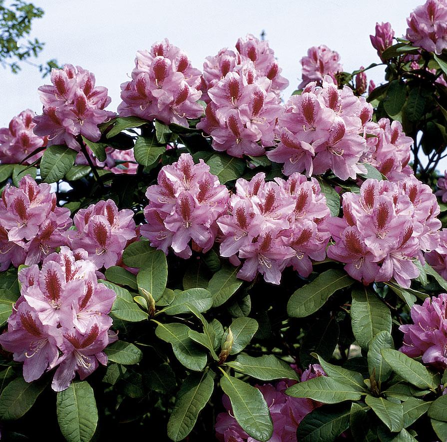 Rhododendren (3)