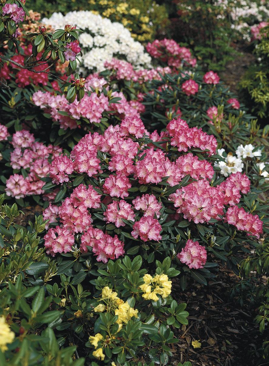 Rhododendren (4)