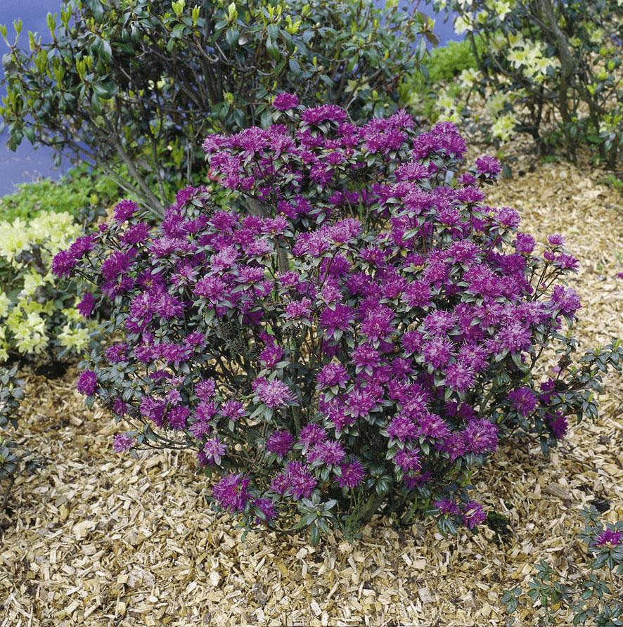 Rhododendren (5)