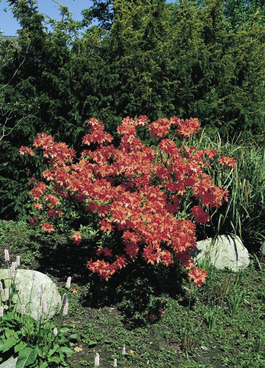 Rhododendren (6)