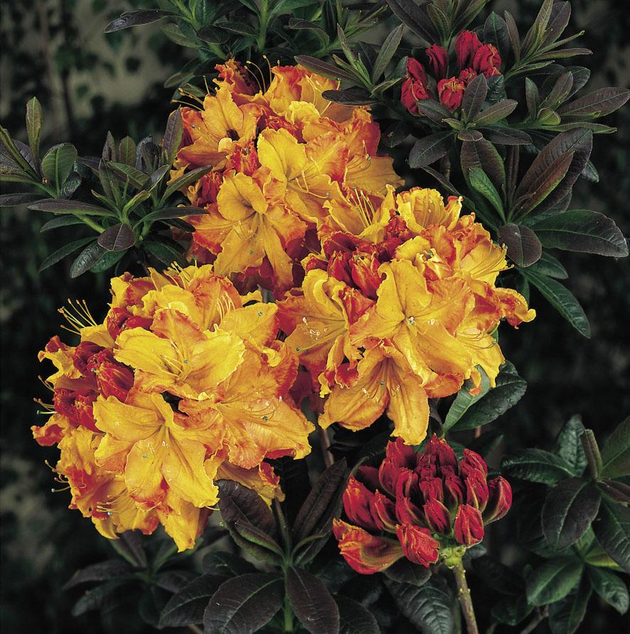 Rhododendren (7)