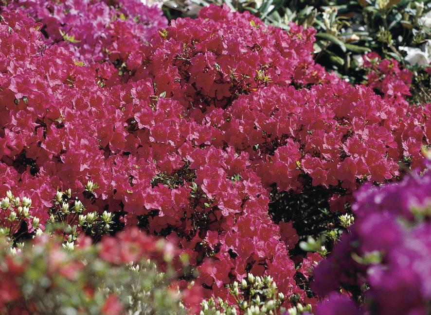 Rhododendren (8)